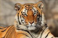 Portrait of a Bengal tiger (Panthera tigris bengalensis)